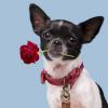 Foto van Dog With A Mission Bonnie Halsband, Bordeaux Rood XXXS