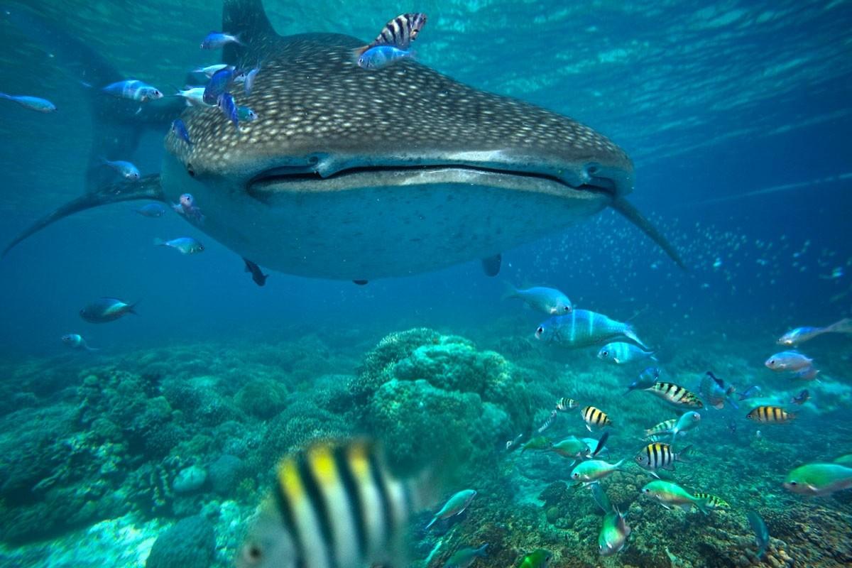 Whale Shark Snorkelen