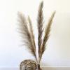 Bild von Pampasgras Getrocknete Grau Natural - 4 Stück 140 cm