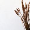 Bild von Weizen Triticum Kupfer - Wald
