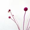 Afbeelding van Craspedia Roze Mix - 10 stuks